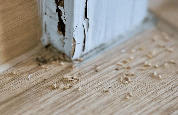 Sử dụng dòng sàn kém chất lượng rất dễ bị mối mọt, côn trùng tấn công
